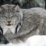 معرفی وعکس از گربه برفی >سیاه گوش کانادای (وشق کانادای)