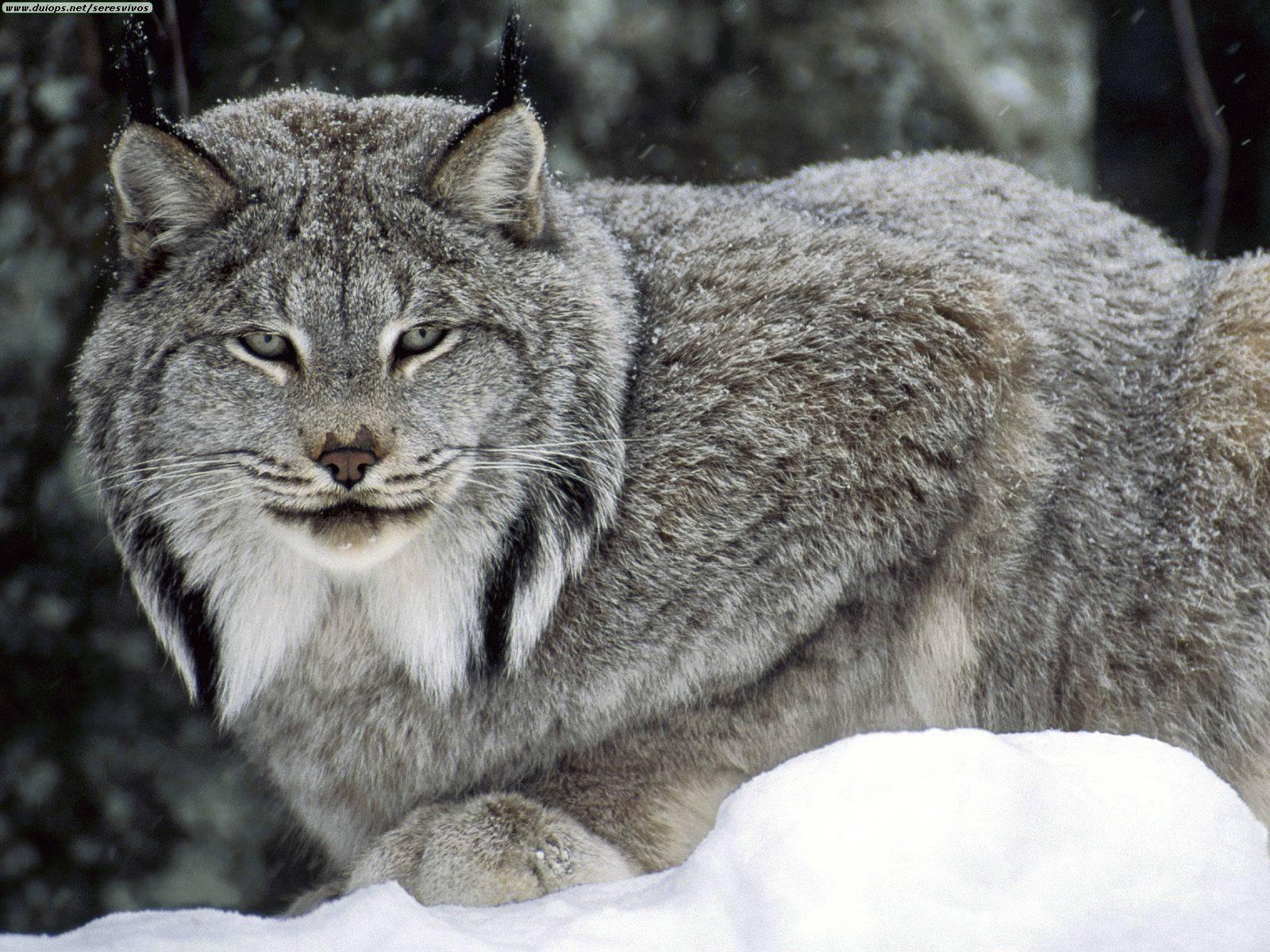 گربه برفی >سیاه گوش کانادای