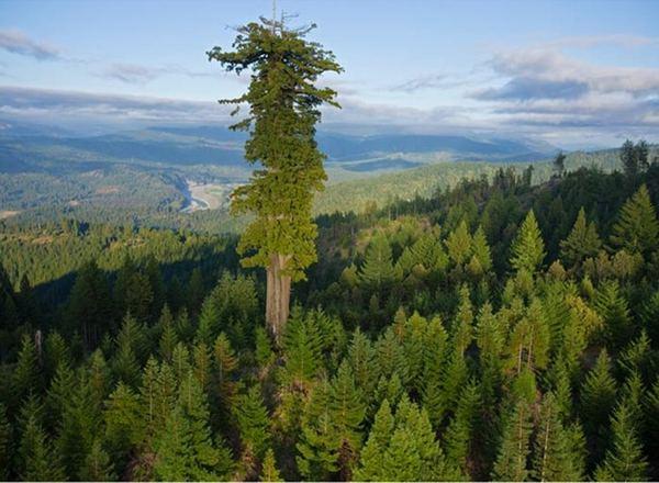 بزرگترین درخت دنیا