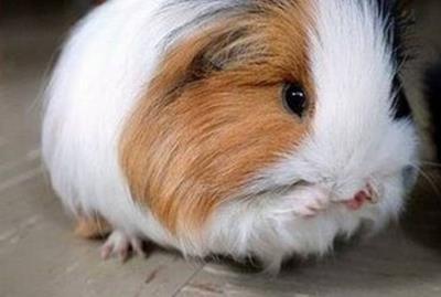 خوکچه هندی