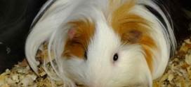 مطالب خواندنی از خوکچه هندی و روش نگهداری ان در خانه