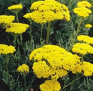 فواید استفاده از گیاه بومادران