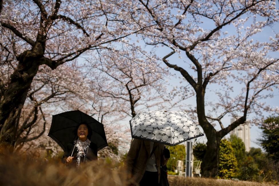 شکو فه های گیلاس در بهار ژاپن منظره ای زیبا