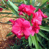 عطر گل خرزهره باعث سکته ی قلبی می شود