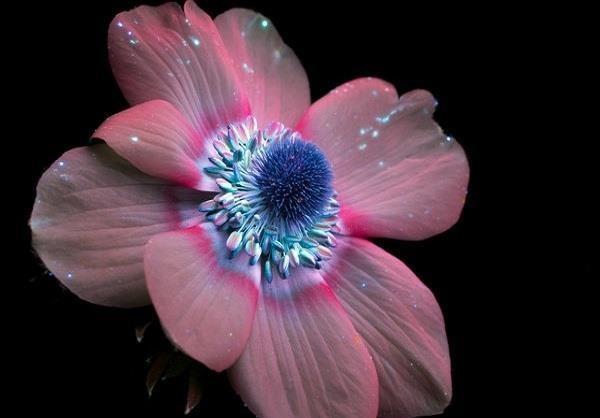 تصاویر دیدنی از رنگ اصلی گل ها زیر نور ماورائ بنفش