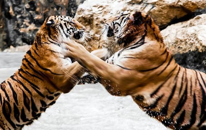 گزارش تصویری از نبرد ببرهاگزارش تصویری از نبرد ببرهاگزارش تصویری از نبرد ببرهاگزارش تصویری از نبرد ببرهاگزارش تصویری از نبرد ببرهاگزارش تصویری از نبرد ببرها