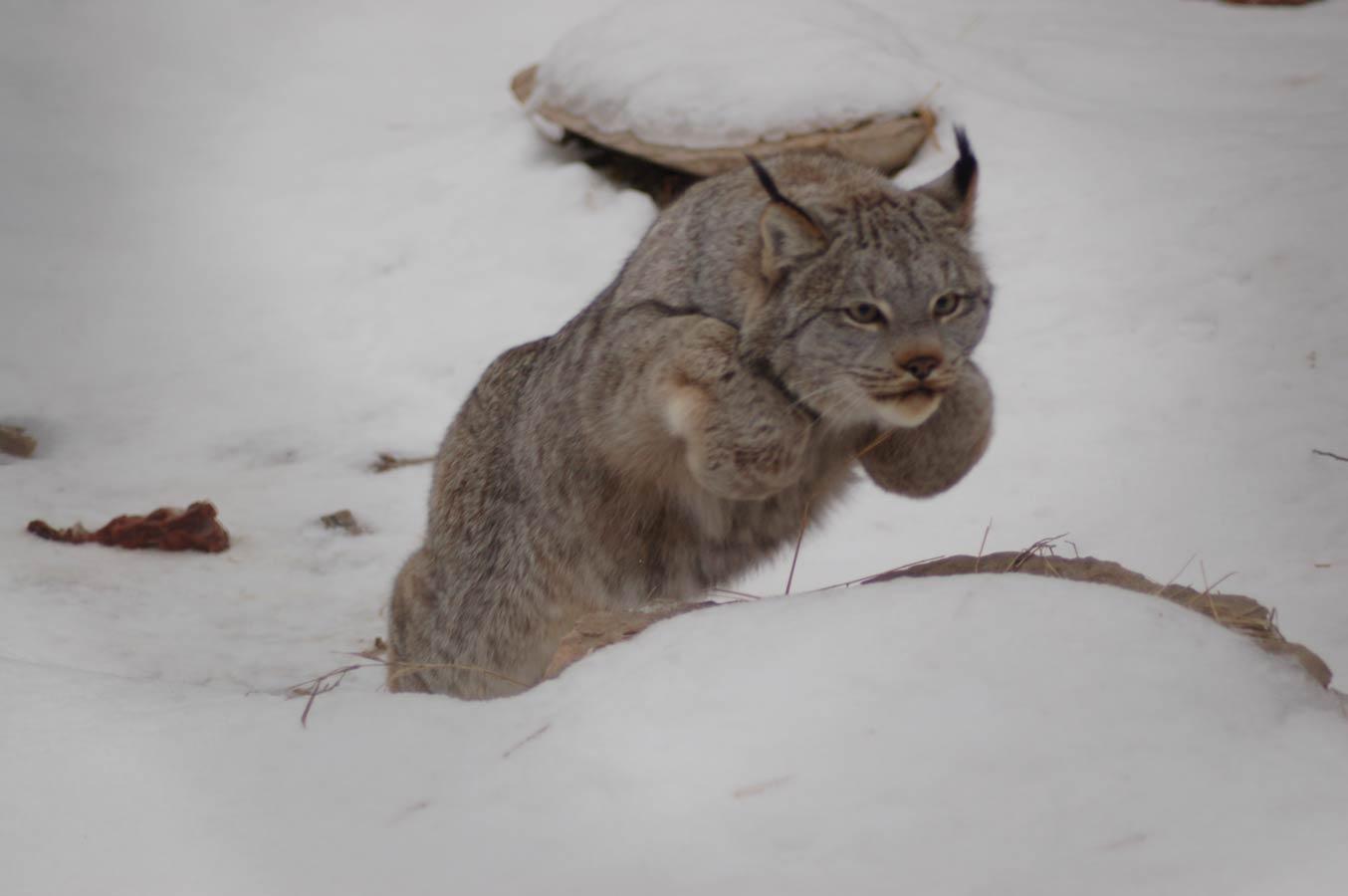 گربه برفی
