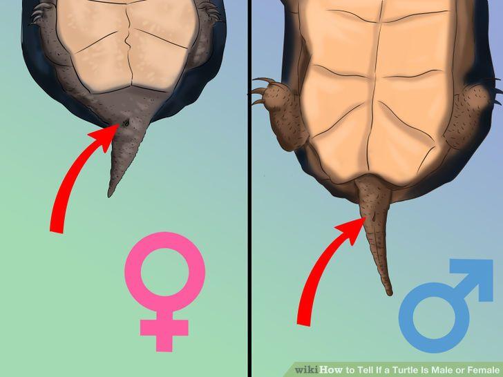 لاکپشت گوشقرمز