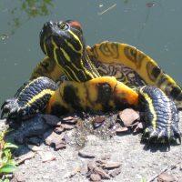 همه آنچه شما باید درباره نگهداری از لاکپشت گوشقرمز بدانید