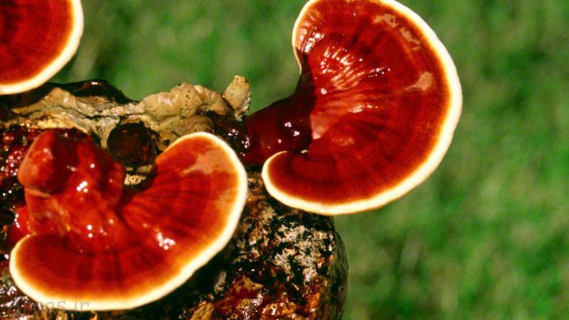 قارچ گانودرما لوسیدوم