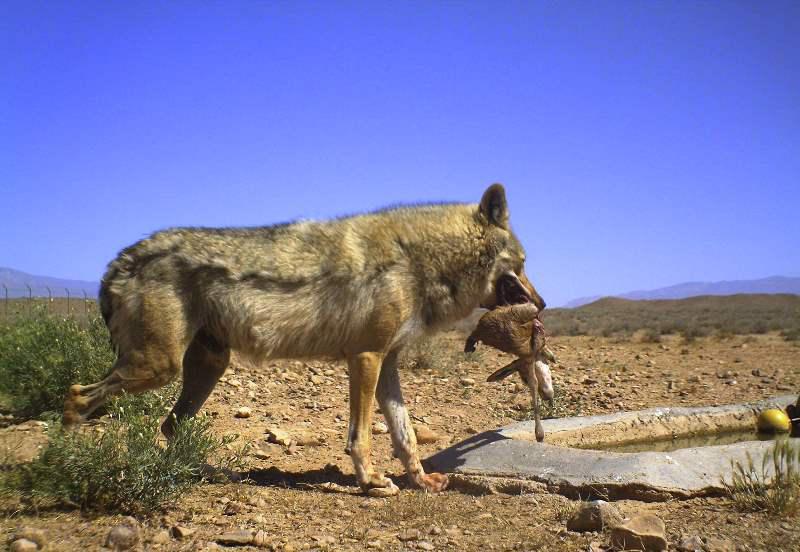 گرگ ایرانی