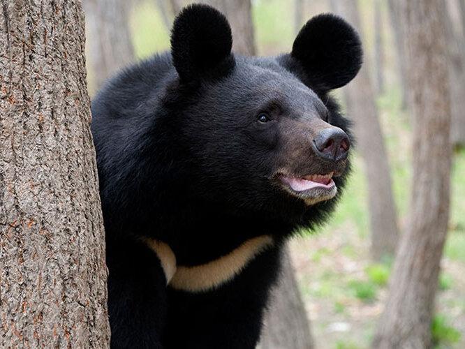 خرس بلوچی